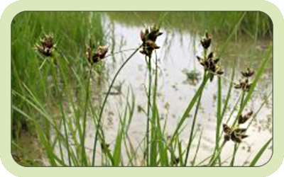 Picture of native plants in the marsh in Charlotte County Florida